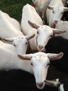 Holy Goat -Saanen goats in Australia   #goatvet thinks this is a terrific name for a goat cheese dairy
