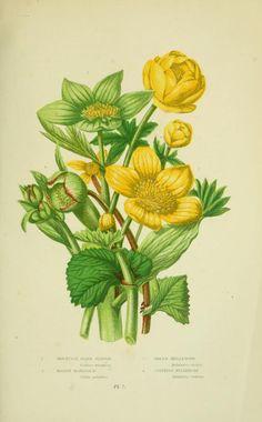 Mountain Globe Flower (Tróllius europaeus). The flowering plants, grasses, sedges, & ferns of Great Britain. London, F. Warne,1905. BHL.