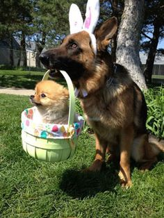 Dog in bunny ears carrying tiny dog in a tiny basket.