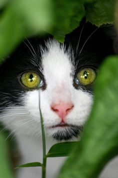 Young Black and White Cat Hiding Behind Some Green Foliage.