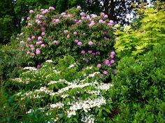 front gardens viburnum rhododendron - Google Search
