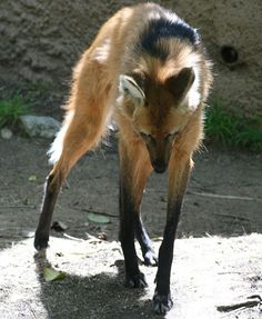 Maned Wolf.