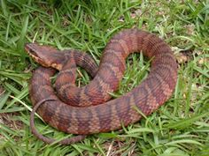 How to identify a COPPERHEAD - and not mistake several common harmless snakes for them.    Also, according to this site copperhead bites hurt but are seldom lethal ( 3 confirmed deaths in the last 120 years).  That's a relief, sorta.
