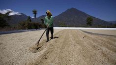 coffee rust and how its affecting central and south american farmers