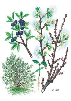 Trnka obecná - Tipy do lesa - Vojenské lesy a statky dětem Trees To Plant, Kindergarten, Homeschool, Clip Art, Drawings, Garden, Illustration, Aster, Animals