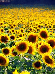 Go to a place you've never been and make it your own ..    [sunflower field north of Barcelona]