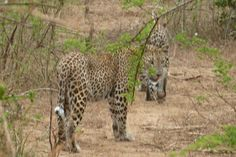 Leopards — Sri Lanka, Yala National Park