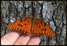 Gulf Fritillary Butterfly - Commonly seen in the Tallahassee area.