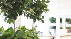 Ficus elatica Ficus, Plant Leaves, Plants, Hydroponics, Planting, Healing, Plant, Figs, Fig