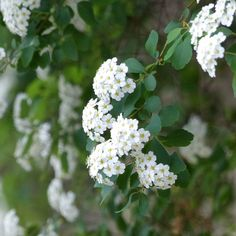 This is bridal wreath spirea. At the location where this was taken, several shrubs are planted along the top of a wall and they just cascade over it like a dream.