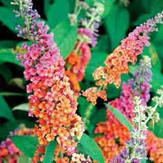 Bi-color Butterfly Bush Its absolutely gorgeous, large, zone hardy 5-9. Now where to put one! plants-of-interest