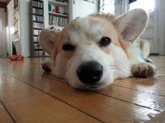 Sleepy corgi!