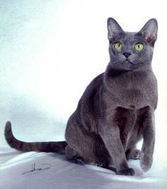 Korat -- semi-cobby body, heart-shaped head, large wide-set green eyes, eyes have an asian slant but appear round when fully open, ears are large and high-set, nose has a slight curve in profile