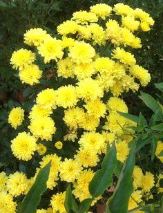 Chrysanteme