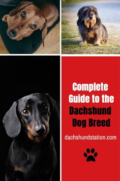 Dachshunds are known for their spirited nature and sometimes spiteful boldness not seen by many other dogs. It sometimes proves difficult to train these dogs, but with patience and determination, many owners can tame these small lively dogs.  Dachshund Information, Dachshund Puppy Names, Dachshund Puppy Training Tips.  #dachshunds  #doxie