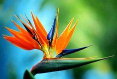 oiseau du paradis - Recherche Google