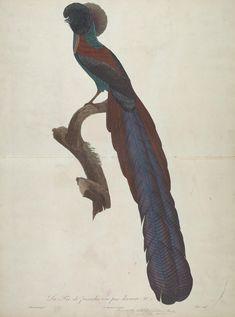 Histoire naturelle des oiseaux de paradis et des rolliers : suivie de celle des toucans et des barbus, 1806. Volume 1