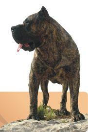 DOG REAL: Cria y Seleccion del DOGO CANARIO