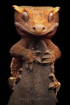 Crested Gecko by igor siwanowicz.  He's kinda scary looking!