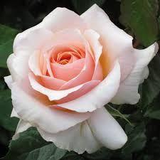 Paul Ricard - Edelrose,VI-IX,halbschatten ok,80,stark duftend,breitwuchsug,duftrose de Povance