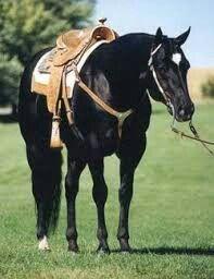 Aqha stallion horse racing