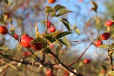 Cherry, Autumn, Fruit, Food, Fall Season, Essen, Fall, Meals, Prunus