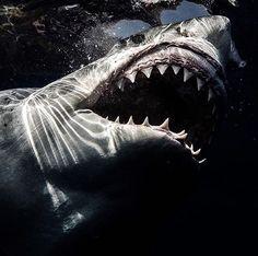 Jaws……… Source by Shark Pictures, Shark Photos, Orcas, Hai Tattoos, Shark Bait, Shark Diving, Apex Predator, Great White Shark, Ocean Creatures