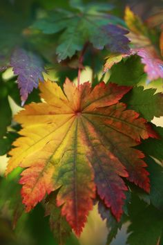 FALL FOLIAGE... Acer japoncium 'Full Moon Maple'. The leaves unfold in the spring to a green, and then are exceptionally beautiful in the fall turning yellow to red.