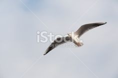 Seagull Flying into the Sky Royalty Free Stock Photo