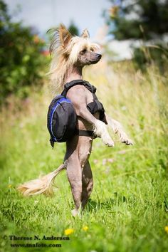 (6) chinese crested | Tumblr