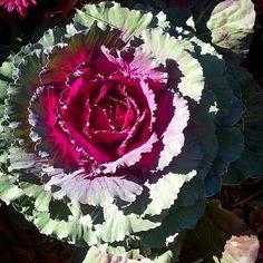 Cabbage Flower