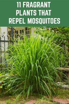 These plants are beautiful, fragrant AND they keep mosquitoes away from your home and garden.