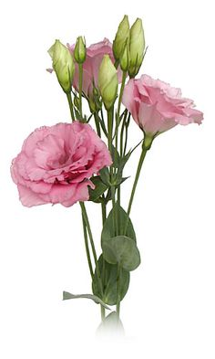 Rose Colored Lisianthus so pretty and so easy to grow