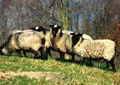 """The Romanov sheep are from the Volga Valley, northwest of Moscow. Genetically unique to North American and British breeds of sheep, the Romanov (a """"pure gene"""" - not a """"cross"""" of anything) used on traditional ewes, will produce a """"hybrid"""" - high performance ewe for the flock of the future and a top gaining market lamb. Bactrian Camel, Animal Fibres, Musk Ox, Sheep Breeds, Lamb Chops, Sheep And Lamb, Angora Rabbit, Counting Sheep, Farm Yard"""