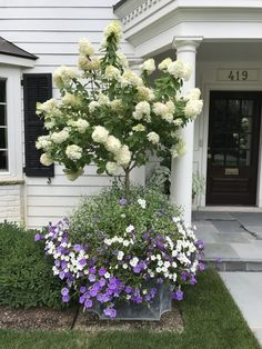 A Garden Favorite: Limelight Hydrangeas – Blue and White Home Hydrangea Tree, Limelight Hydrangea, Hydrangeas, Begonia, Container Plants, Container Gardening, Flower Containers, Pot Jardin, Garden Tub