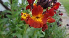 Giftpflanzen ABC: G ... wie Goldlack Plants, Poisonous Plants, Medicinal Plants, Gardening, Plant, Planting, Planets