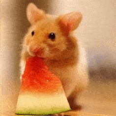 Hamster eating watermelon. http://ift.tt/2vw00vS