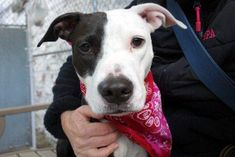 SAFE❤️❤️ 10/31/16 MELINKA - A1094794 - - Manhattan Please Share:TO BE DESTROYED 10/31/16 A volunteer writes: Our sweet, shy, and beautiful Melinka joined us when her owner lost her home. Her gleaming black coat and lovely, elegant, petite figure attest to the fact she was well cared for and loved. Melinka means 'serious minded, responsible and stable', and right now Miss Melinka is very serious. She's lost everything she knows, and while shy she is making an effort to make