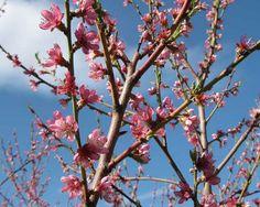 Peach Tree in full bloom at Montfair!