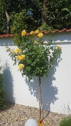 Rafting, Home And Garden, Deco, Rose, Floral, Flowers, Plants, Agriculture, Houses