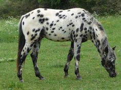 appaloosa | OR Appaloosas - Stallion