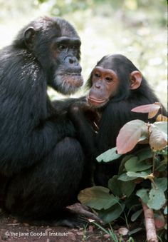David Greybeard, the first chimpanzee to let Jane Goodall observe him, has been named one of the 15 Most Influential Animals That Ever Lived.