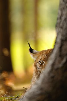 """""""When we look outside of that on which we depend we ignore our unity; looking outward we see many faces; look inward and all is one head. If a man could but be turned about, he would see at once God and himself and the All.""""  ― Plotinus, The Enneads--Lynceus (""""lynx-eyed"""") was one of the Argonauts and was said to have excellent sight, even able to see through trees, walls and underground // personification of ''seeing beyond'')"""