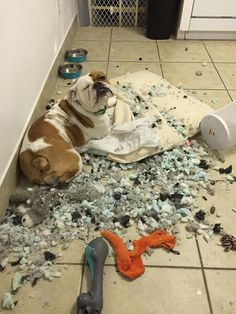 Dog Red Line: 16 Reasons To Never Adopt An English Bulldog Bulldog Puppies For Sale, English Bulldog Puppies, Cute Puppies, Cute Dogs, Mini English Bulldogs, British Bulldog, Funny Animal Pictures, Funny Animals, Cute Animals