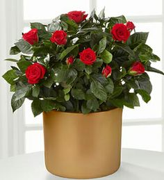 Sheer Elegance Mini Rose Plant - 6.5 inch
