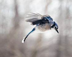Bird Photography: The Art of Staying Aloft No 8 Blue Jay (Cyanocitta cristata) via Etsy