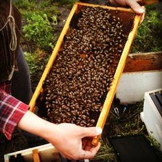 MeadowBlazingStar Honey - Blog by an apiarist in Des Moines, IA.