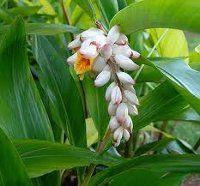 Gember is een overblijvende plant met een rechte, rietachtige stengel waaraan witte bloemen bloeien, die vanuit een kruipende, gelede wortel omhooggroeit. Aan de onderkant van de gemberplant wordt uit de wortelstok gember gewonnen.