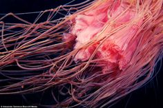The tentacles of Lion's Mane jellyfish are seen close up: Mr Semenov says it is amazing that we know more about the Moon than under the sea of our own planet