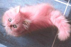 #hc: un giorno Ronan si annoiava (strano), così ha deciso di tingere il gatto di Meara. La mattina dopo anche Ronan ha potuto sfoggiare una capigliatura rosa, ovviamente cortesia della sorella.